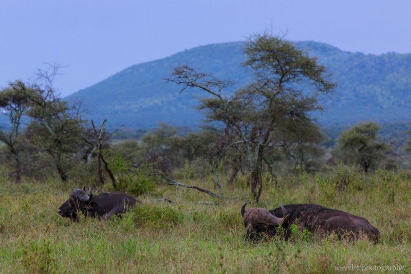 Buffaloes, Serengeti National Park