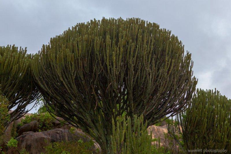 Candelabra trees around Seronera Information Center, Serengeti National Park
