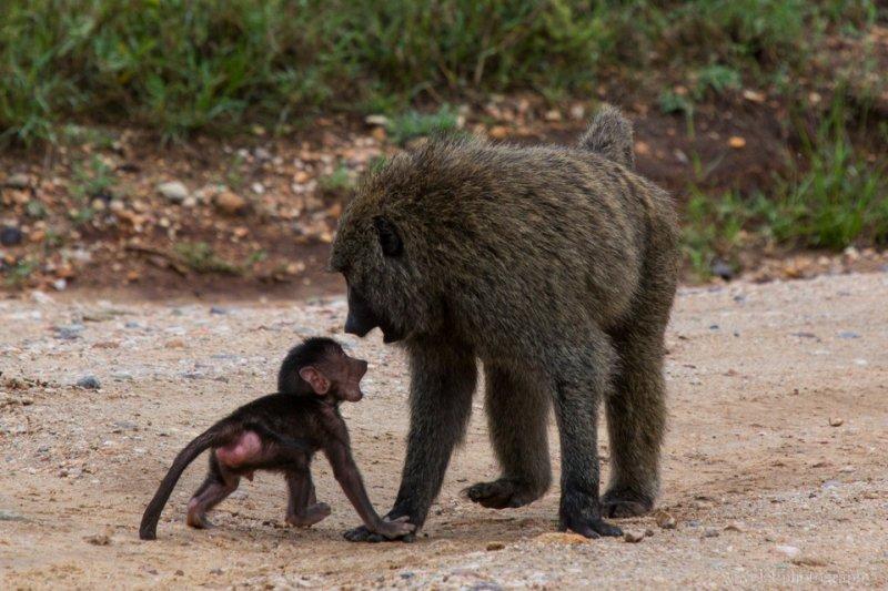 Baboons, Serengeti National Park