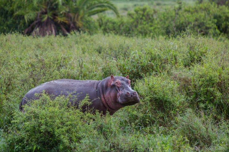 Hippo, Serengeti National Park