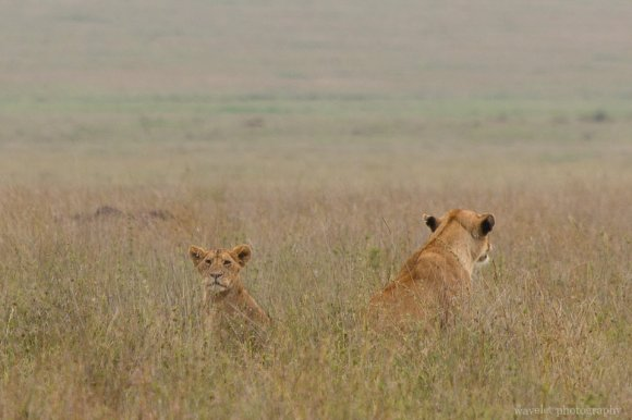Lions, Serengeti National Park