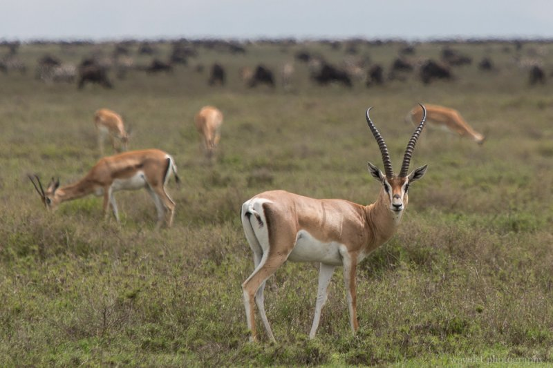 Grant's Gazelle, Serengeti National Park
