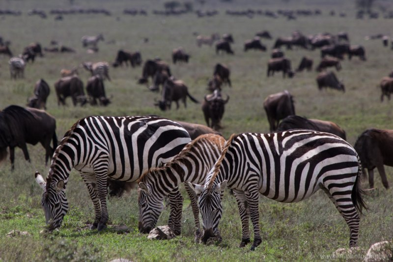 Mountain Zebras in migration, Serengeti National Park