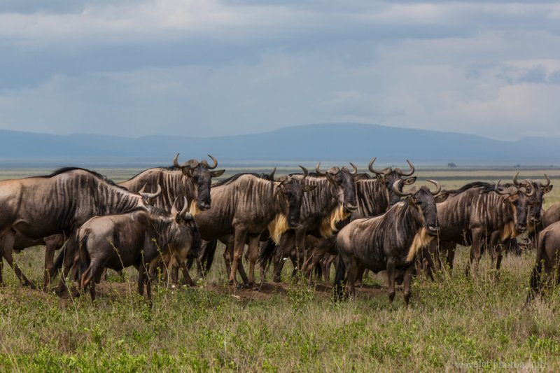 Wildebeests in migration, Serengeti National Park