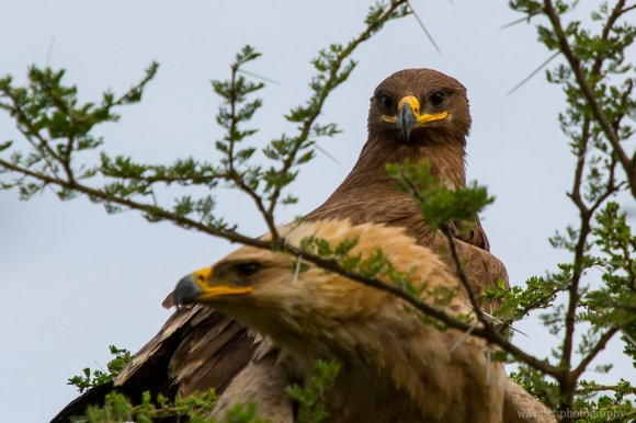 Black Kite, Lake Ndutu