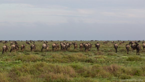 Migration, Near Lake Ndutu