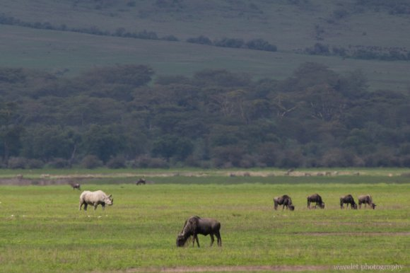 Black Rhino, Ngorongoro Crater