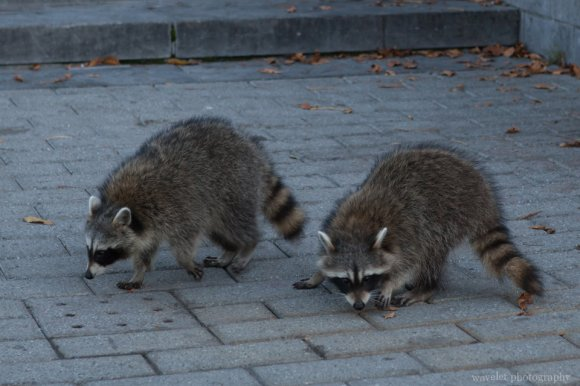 A pair of raccoons at Mount Royal Park, Montreal