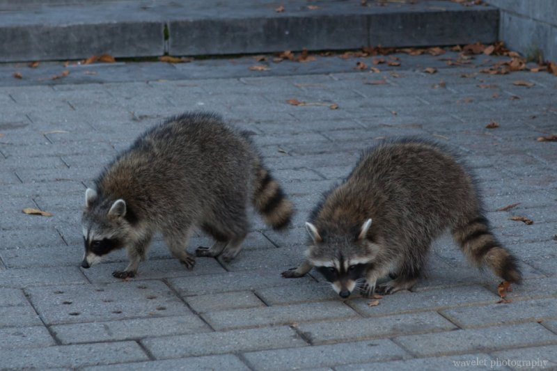 A pair of raccoons at Mount Royal Park, Montreal