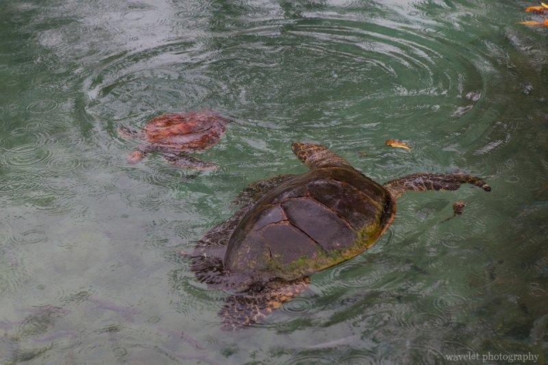 Turtle Sanctuary, Inter-Continental Resort & Spa, Moorea
