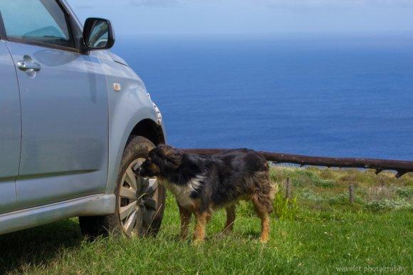 A dog at Orongo, Easter Island