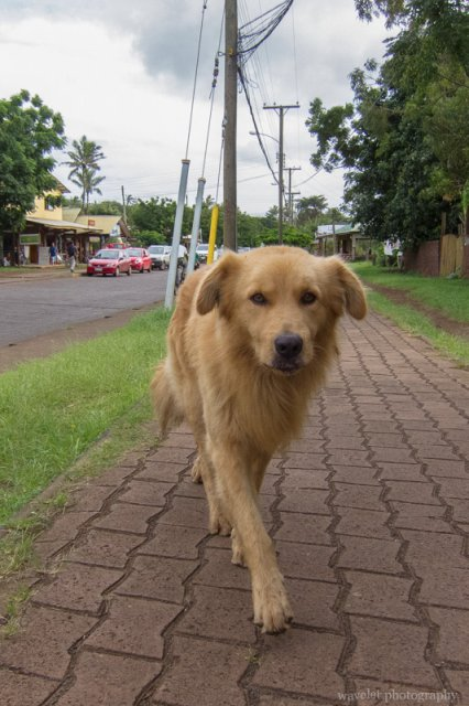 A street dog, Easter Island