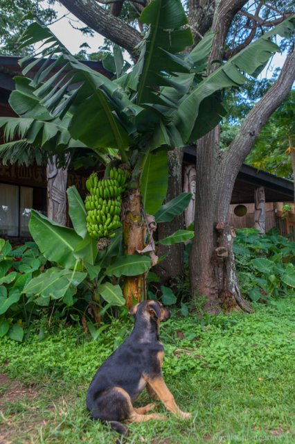 The dog of Hotel Cabanas Koro Nui, Easter Island