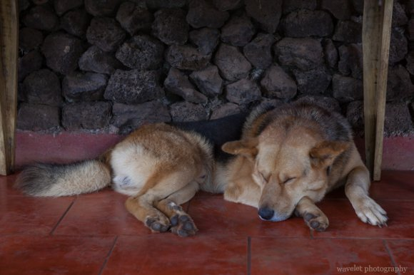 The larger dog of Hotel Cabanas Koro Nui, Easter Island