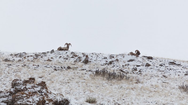 Rams on the hill, Wildlife Tour