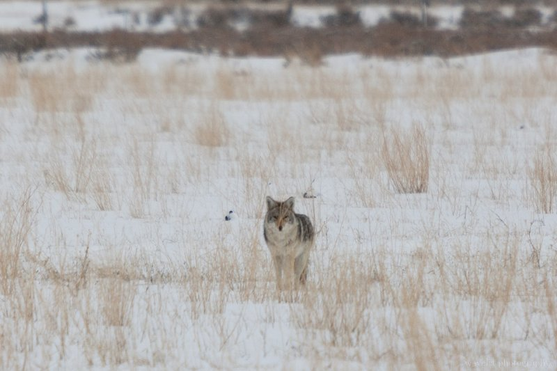 A fox in the field, Wildlife Tour