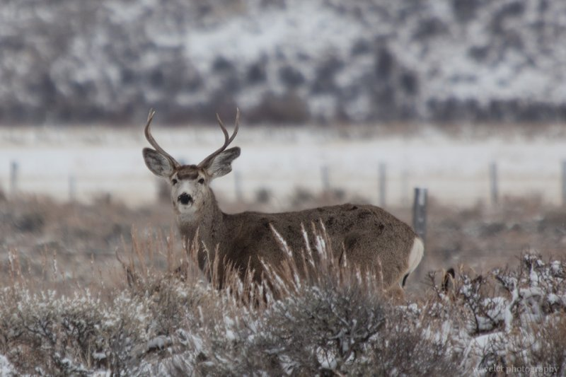 A mule deer, Wildlife Tour