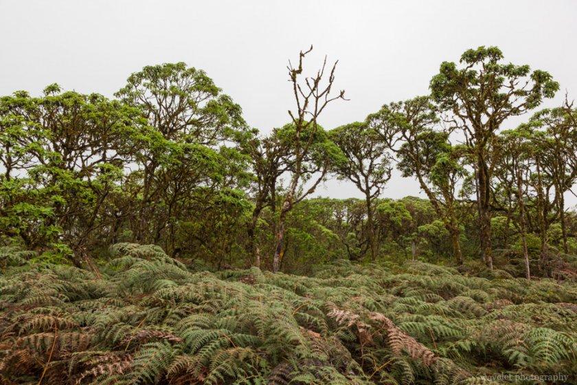 Scalesia tree, Around Twin Craters, Santa Cruz Island