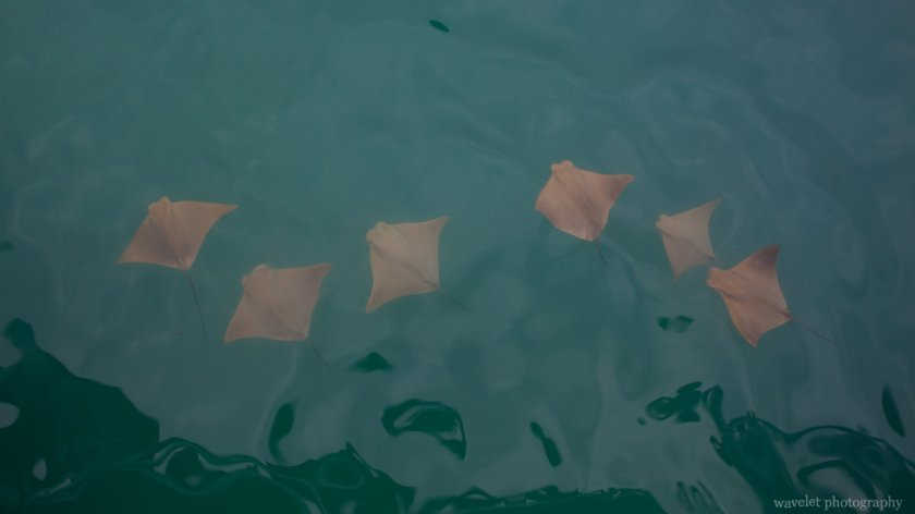 Golden Ray, Puerto Ayora, Santa Cruz Island