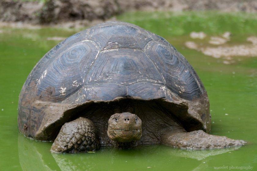 Giant Tortoises, Rancho El Manzanillo, Santa Cruz Island