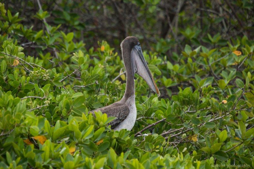 Pelican on mangroves, Puerto Ayora, Santa Cruz Island