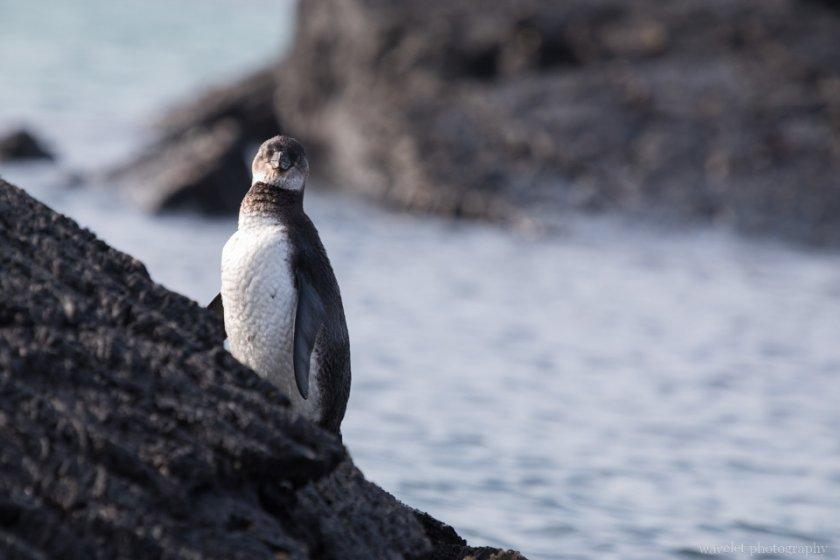 Galapagos Penguin, Punta Moreno, Isabela Island