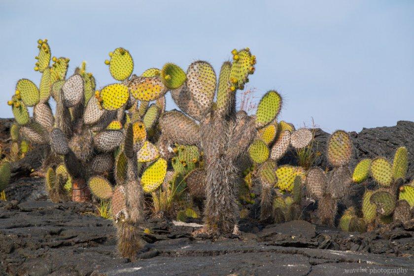 Prickly Pear Cactus, Punta Moreno, Isabela Island