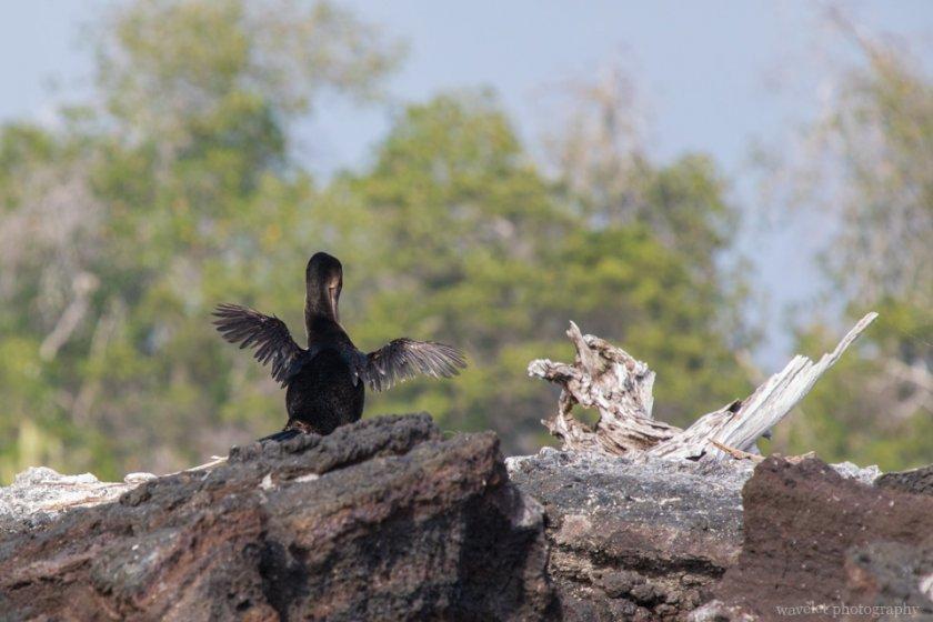 Flightless Cormorant, Punta Moreno, Isabela Island