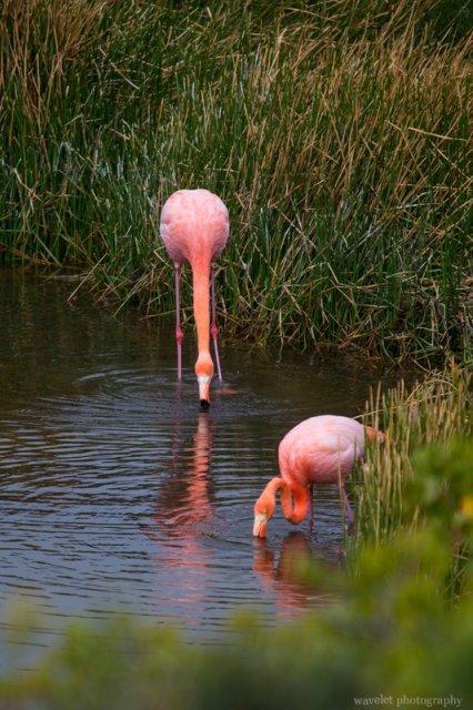 Greater Flamingo, Punta Moreno, Isabela Island