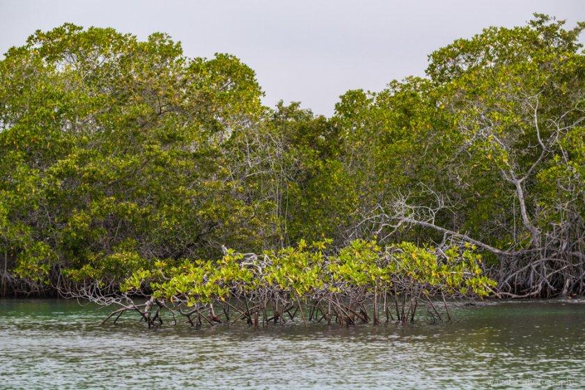 Mangroves, Punta Mangle, Fernandina Island