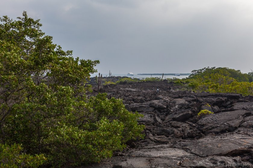 Mangroves and lava field, Punta Moreno, Isabela Island