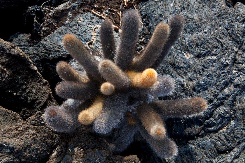 Lava Cactus, Punta Moreno, Isabela Island
