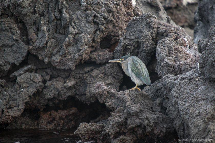 Galapagos Heron, Punta Mangle, Fernandina Island