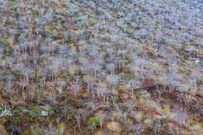 Palo Santo trees, Caleta Tagus, Isabela Island