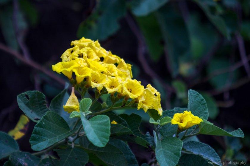 Yellow Cordia, Bahía Urbina, Isabela Island
