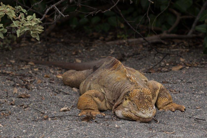 Galapagos land iguana, Bahía Urbina, Isabela Island