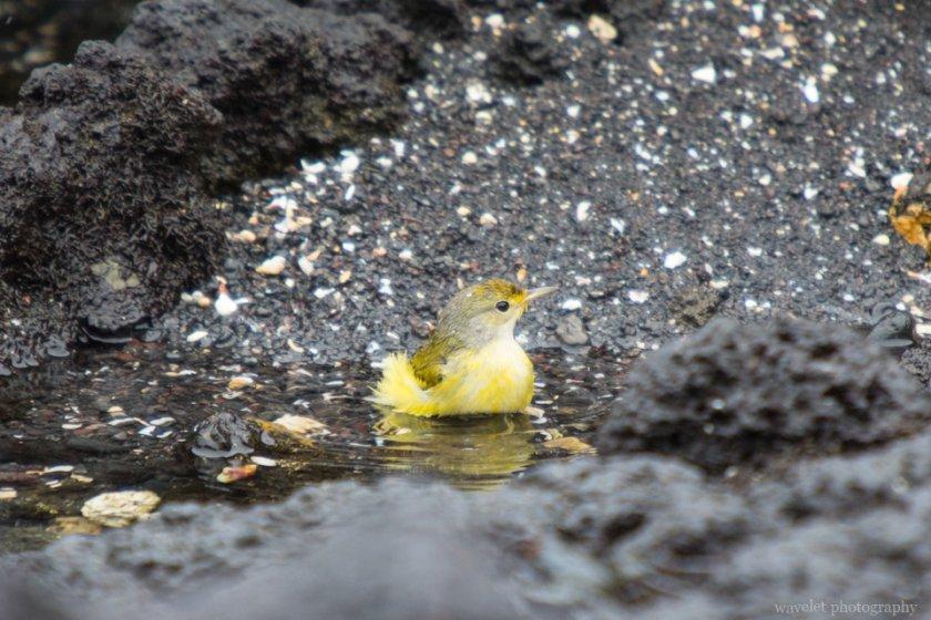 Yellow Warbler, Bahía Urbina, Isabela Island