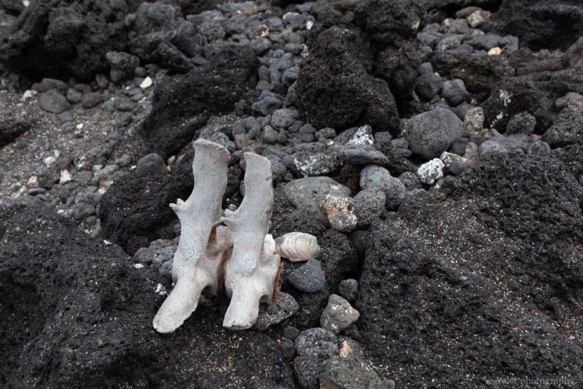 Sea line spine on the Urbina Bay beach, Isabela Island