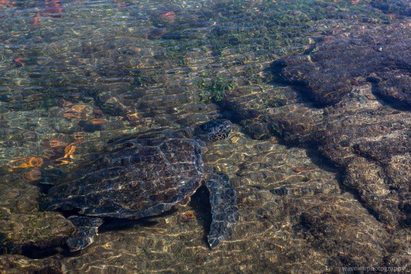 Green turtle, Punta Espinoza, Fernandina Island