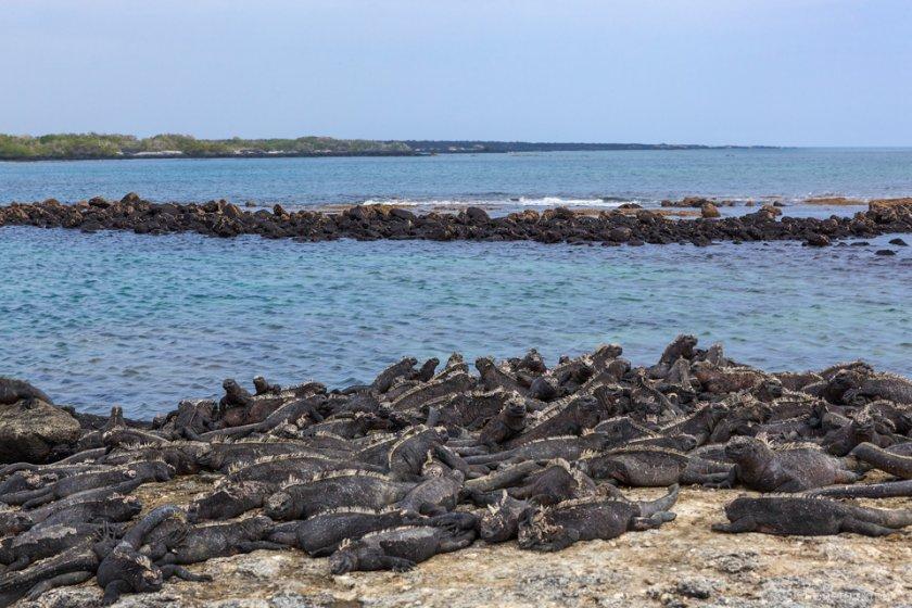 Marine Iguana, Punta Espinoza, Fernandina Island