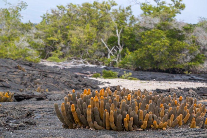 Lava Cactus and Mangroves, Punta Espinoza, Fernandina Island