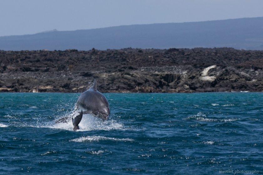Chasing Dolphins, Punta Espinoza, Fernandina Island
