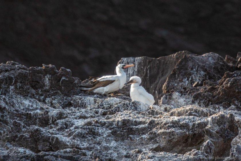 Nazca Booby, Punta Vicente Roca, Isabela Island