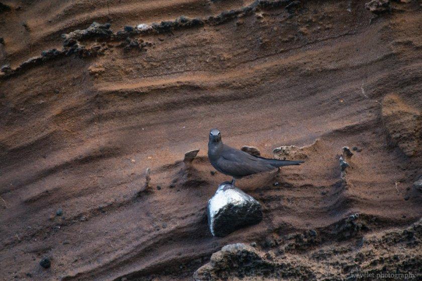 Common Noddy, Punta Vicente Roca, Isabela Island