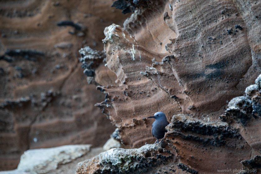 Lava Gull, Punta Vicente Roca, Isabela Island