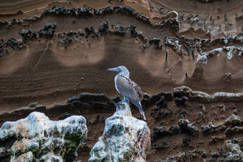 Blue-footed booby, Punta Vicente Roca, Isabela Island