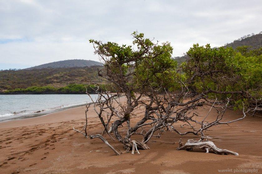 Mangroves on the Espumilla Beach, Santiago Island