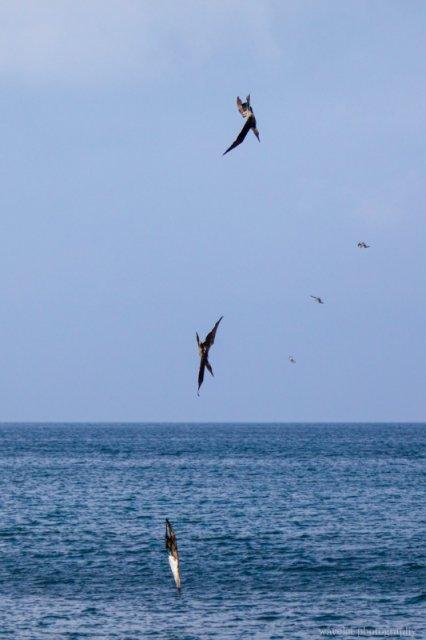 Blue-footed boobies diving, Espumilla Beach, Santiago Island
