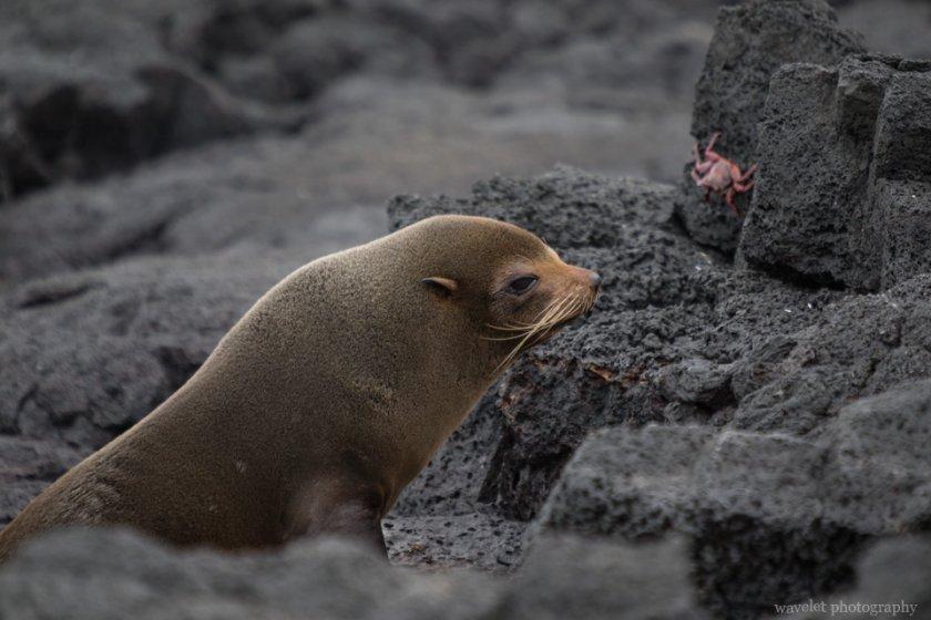 Galapagos Fur Seal, Puerto Egas, Santiago Island
