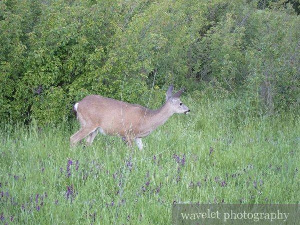 Deer, Alum Rock Park